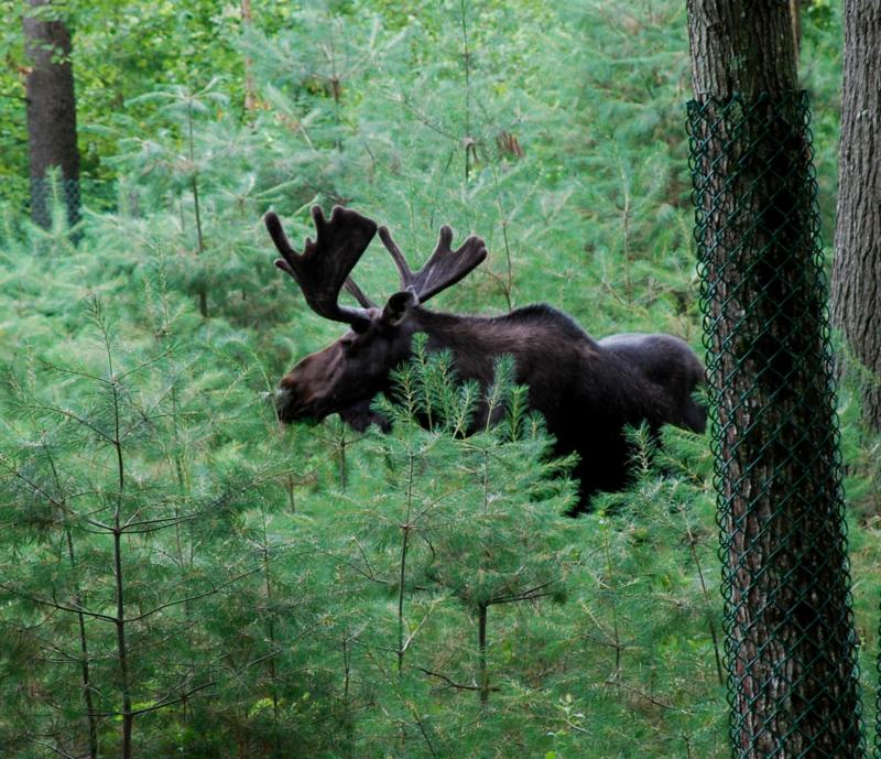 Maine s wildlife park in gray now open boothbay register for Maine fish wildlife