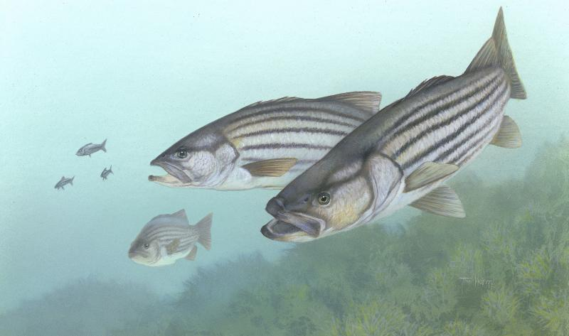 Maine S Stripers Not Stripped Yet Boothbay Register