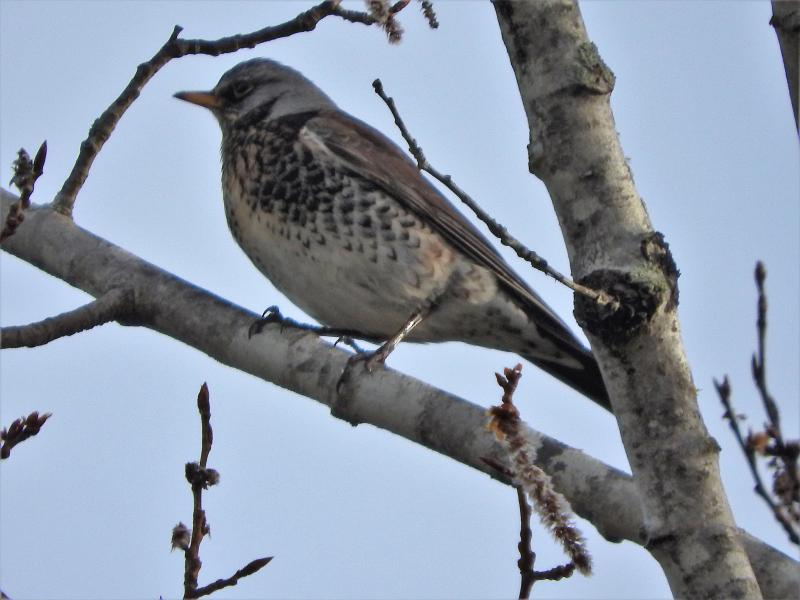 fieldfare, Jeff Cherry, Boothbay Register