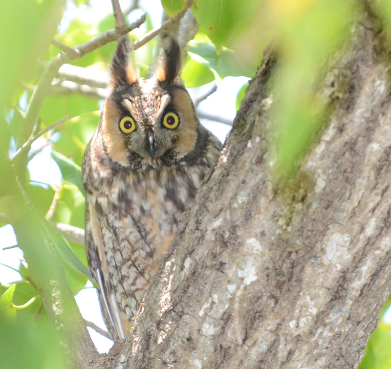 the most mysterious maine owl boothbay register