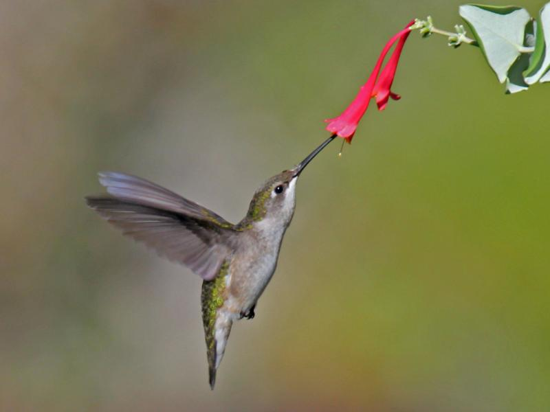 ruby-throated hummingbird, Maine, Boothbay Register