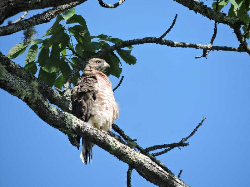 broad-winged hawk, Boothbay Register