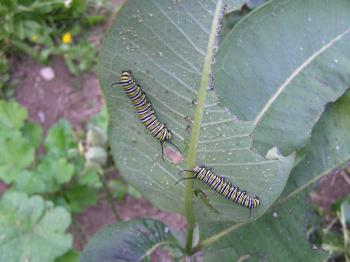 Monarch butterfly caterpillars feed on the underside of a common milkweed plant. Monarchs are dependent upon milkweed for their reproduction. SUE MELLO/Boothbay Register