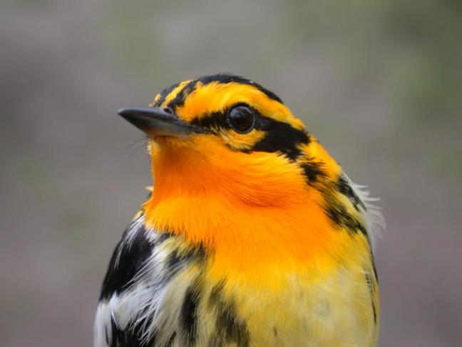 A Blackburnian warbler. Courtesy of David Bonter