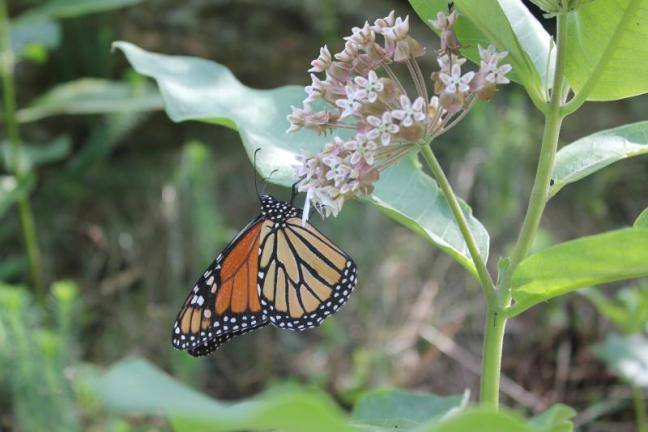 Monarch butterflies' beauty and fascinating life cycle make them a familiar and much-loved garden staple. But their populations are in steady decline and few were seen in Maine this year. SUE MELLO/Boothbay Register