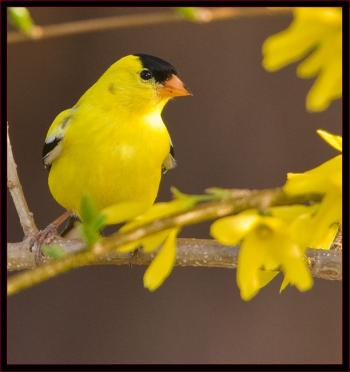 An American Goldfinch. Courtesy of Kirk Rogers.