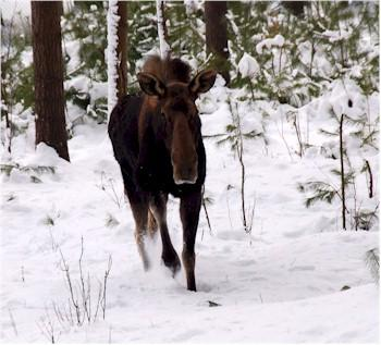 Radio collar moose research project begins boothbay register for Maine fish wildlife