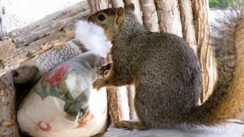 Squirrel eating pillows