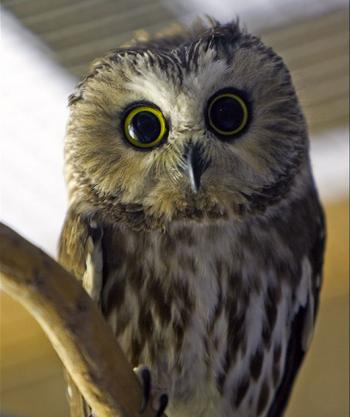 Northern Saw-whet Owl, Boothbay Register, Maine