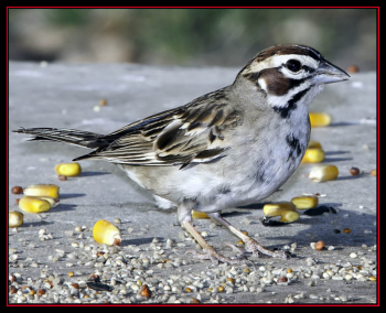 #lark-sparrow, #Boothbay-Register