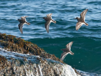 Purple Sandpipers, Boothbay Register, Jeff and Allison Wells
