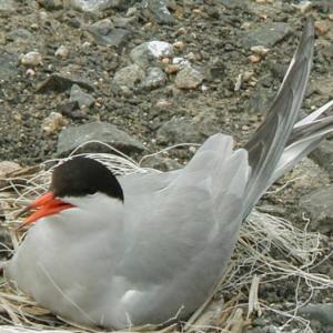 Common Tern, Maine, Boothbay Register, Jeff Wells