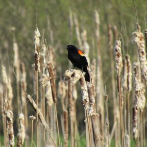 red-winged blackbird, Jeff Wells, Boothbay Register