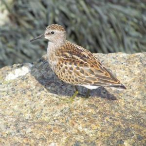 #bird-column, #Least-Sandpiper, #Boothbay-Register, #Jeff-Wells