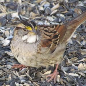 #bird-column, #white-throaded-sparrow, #boothbay-register, #Jeff-Wells