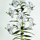 """Oriental Lady,"" by Nancy Coleman"