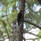Black-backed  Woodpecker, Katahdin Woods and Waters National Monument, Jeff Wells, birds, Maine